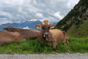Kuehe_Tirol_9448