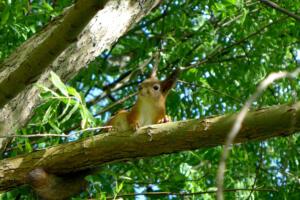 Eichhörnchen am Mökki