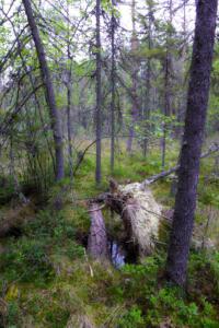 finnischer Urwald