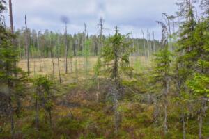 Moor am finnischen Wald