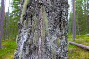 Baum mit Flechten
