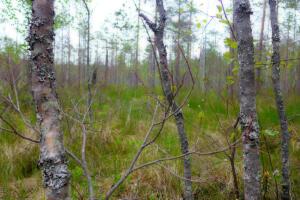 Wald im Sumpf